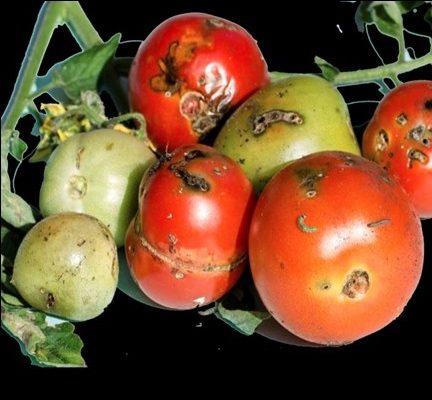 Tomato leaf miner